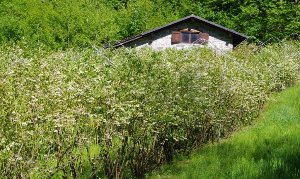Mirtilli Valli di Lanzo Azienda Agricola Naturalmente